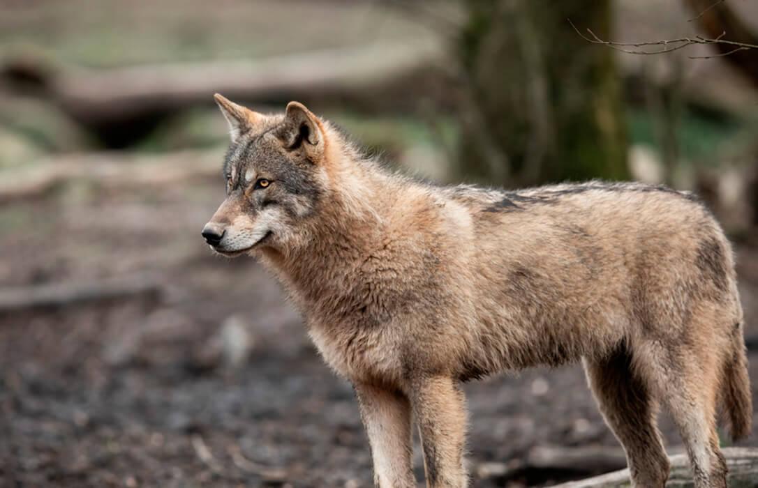 Insisten en que se debe paralizar la inclusión del lobo en el LESPRE hasta encontrar un consenso con el sector ganadero