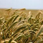 Sesión anodina pero rentable en la Lonja de León con subidas en todos los cereales 1