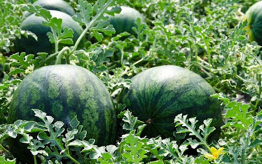 La Interprofesional de melón y sandía de Castilla-La Mancha pide prudencia al sector para una siembra adecuada