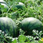 La Interprofesional de melón y sandía de Castilla-La Mancha pide prudencia al sector para una siembra adecuada 1