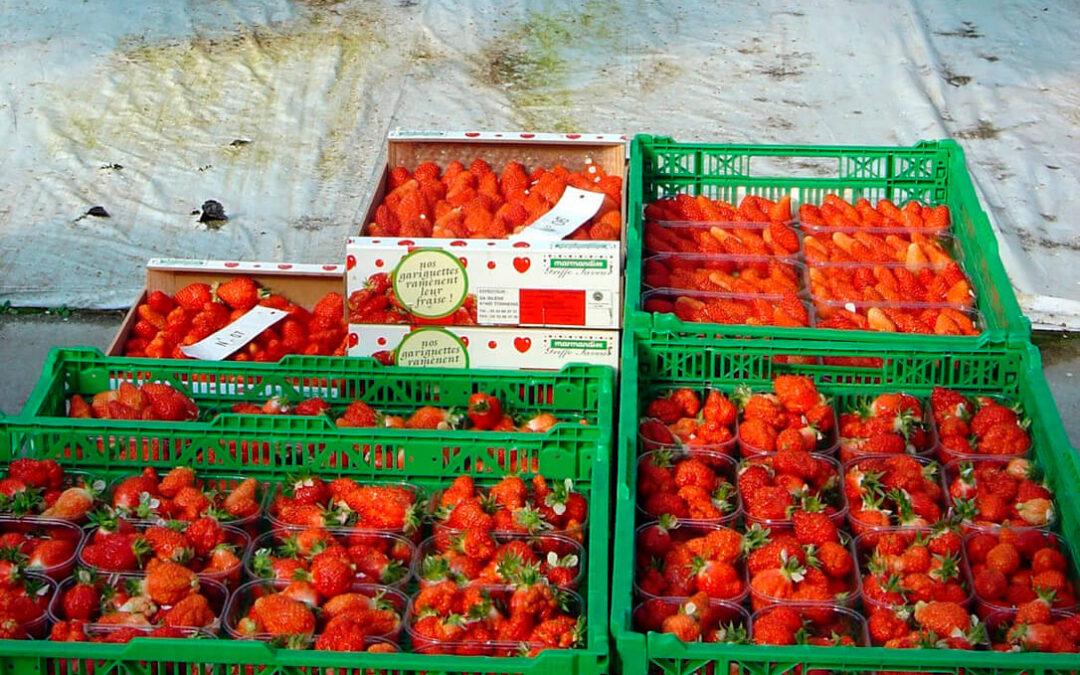 Apertura del mercado canadiense a las fresas españolas que podrán exportarse esta misma campaña