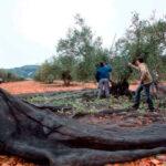 Castilla-la Mancha pone al olivar de bajo rendimiento frente al intensivo en el debate sobre las ayudas a percibir de la PAC 1