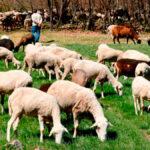 Planas no descarta que se utilicen las ayudas de la PAC para compensar a los ganaderos por la proteccion del lobo 1