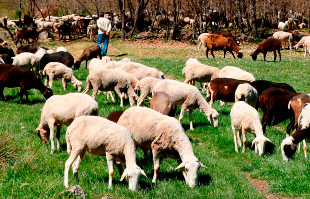 Planas no descarta que se utilicen las ayudas de la PAC para compensar a los ganaderos por la proteccion del lobo
