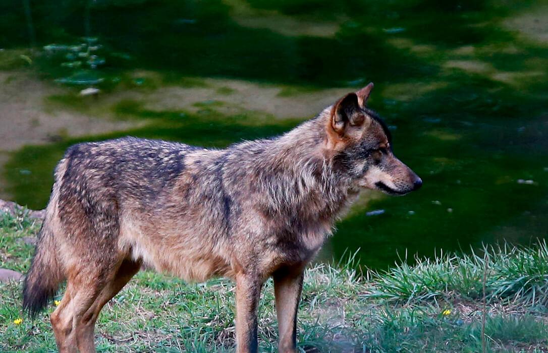 Ribera asegura ahora que la protección del lobo es para garantizar las indemnizaciones, que deja caer que serían a cargo de la PAC