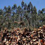 Galicia frenará el crecimiento de nuevas superficies dedicadas al eucalipto para conseguir un Monte Gallego 2040 diversificado 1