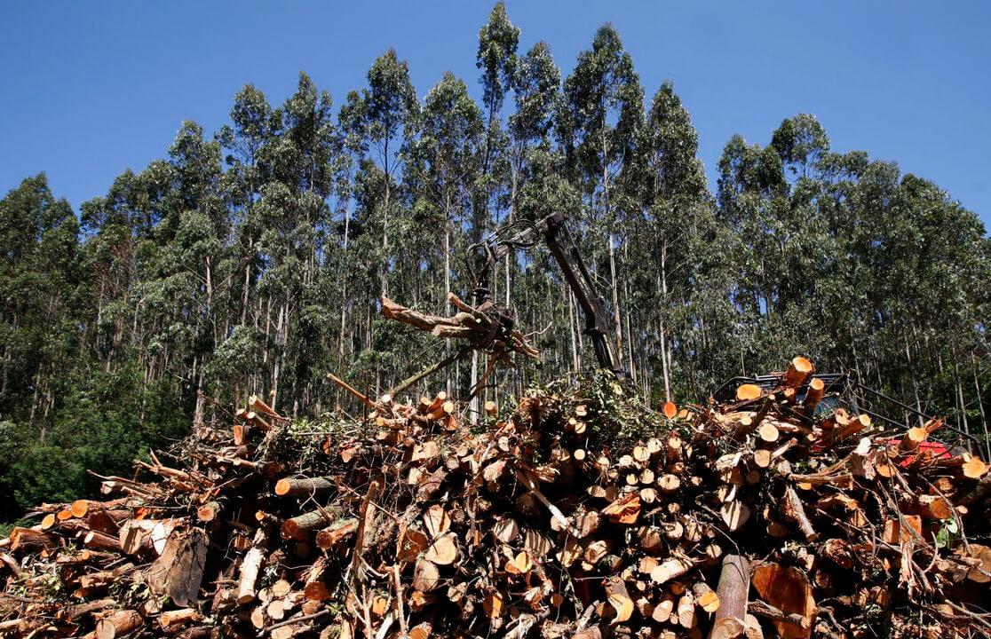 Galicia frenará el crecimiento de nuevas superficies dedicadas al eucalipto para conseguir un Monte Gallego 2040 diversificado