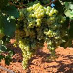 Críticas constructivas: Falta de rigor y concreción en el borrador de la Ley de la Viña y del Vino de Castilla-La Mancha 1