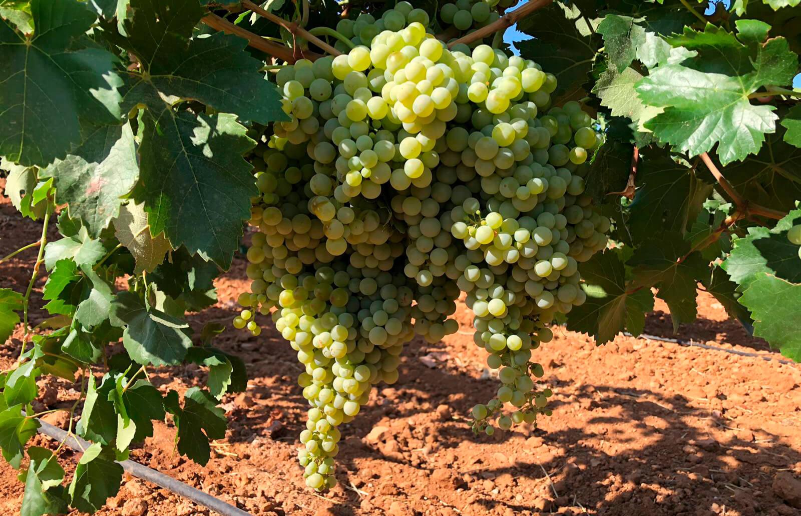 Críticas constructivas: Falta de rigor y concreción en el borrador de la Ley de la Viña y del Vino de Castilla-La Mancha