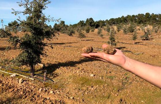 Logran producir trufa negra fuera de su área natural en sólo 5 años, un cultivo con una rentabilidad de 6.000 euros por hetárea