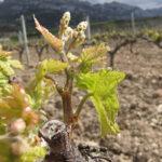 Premiado un proyecto que tiene como objetivo la disminución del uso de tratamientos fitosanitarios químicos en viticultura 1