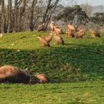 No solo el lobo preocupa a los ganaderos: Un nuevo ataque de los buitres acaban con dos becerros y una vaca 1