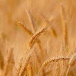 Aprose organiza el I Symposium de productores de semilla certificada para poner de relieve su papel en la agricultura española 1