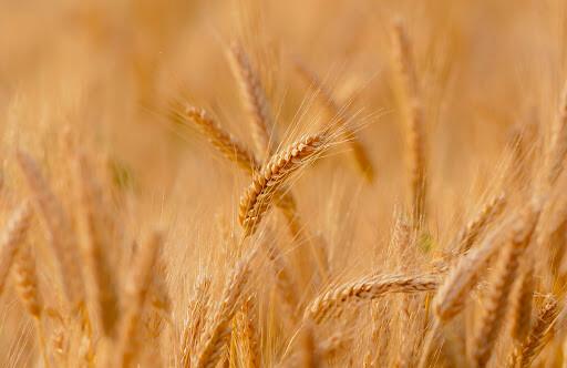 Aprose organiza el I Symposium de productores de semilla certificada para poner de relieve su papel en la agricultura española