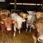 Ataque frontal a los ganaderos 1