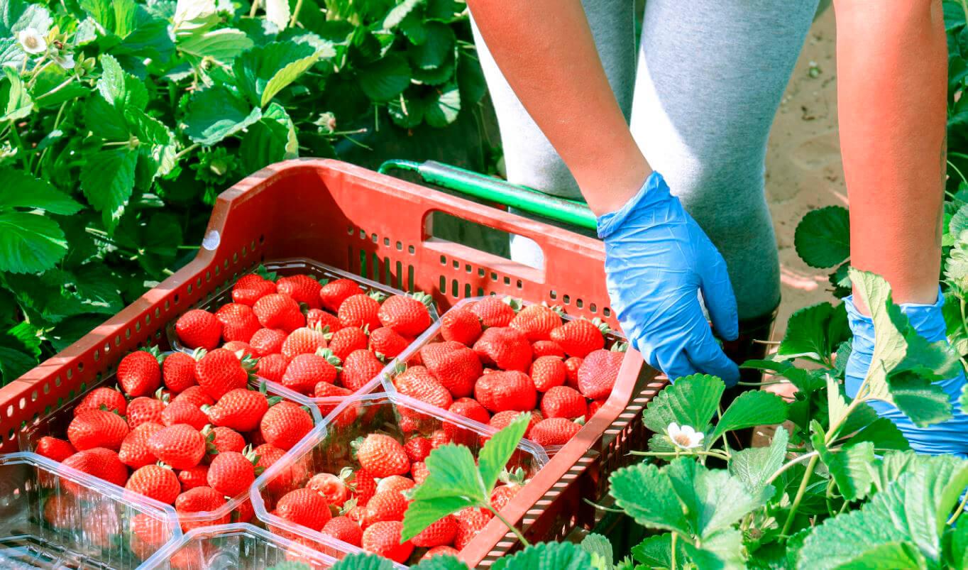 Carrefour saca pecho por su compra de la fresa española cuando le llueven las críticas por tirar los precios en sus tiendas