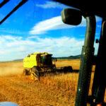 Baja levemente la superficie sembrada de cereal de otoño-invierno en España, así como la producción de lechuga 1