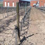 Un estudo nacional estudian prácticas más sostenibles de riego en variedades tintas de vid frente al cambio climático 1