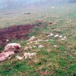 Denuncian un nuevo ataque del lobo «prácticamente al lado de las casas» en una finca cerrada con una malla en Asturias 1