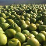 Cooperativas Agro-alimentarias de España traslada a la Comisión Europea la situación de la aceituna de mesa española 1