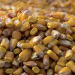 Comienza a cotizar el maíz seco en la lonja de León a 230 euros la tonelada cuando los ecoesquemas prevén reducir un 25% su superficie 1