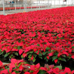 Nuevos pasos para que se baje la fiscalidad para los productores de flor cortada por parte del Gobierno 1