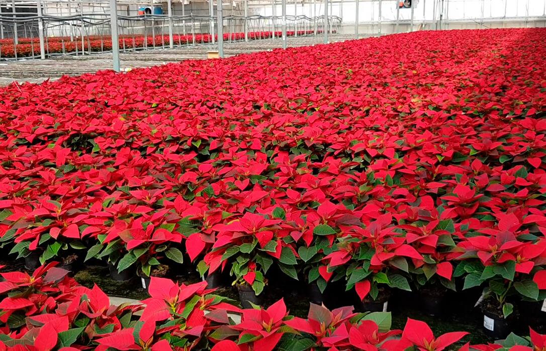 Nuevos pasos para que se baje la fiscalidad para los productores de flor cortada por parte del Gobierno
