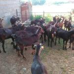 España es declarada oficialmente indemne de brucelosis ovina y caprina y se espera que la bovina llegue este mismo año 1