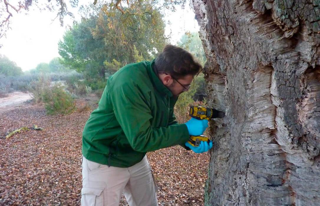 Los alcornoques de Doñana se vacunan: Inyecciones con fitoactivador para poder frente a la seca