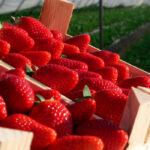La campaña de frutos rojos se está complicando y la producción está muy por debajo de anteriores campañas con menos del 50% 1
