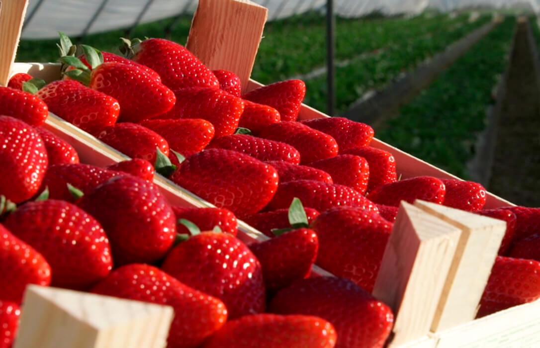 La campaña de frutos rojos se está complicando y la producción está muy por debajo de anteriores campañas con menos del 50%
