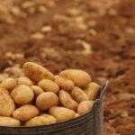 La lonja de León dejará de cotizar la patata tras otra sesión con una tendencia alcista en el cereal pero con un mercado muy parado 1