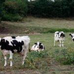 La situación del sector de la leche: El precio que se paga en España es inferior al del resto de Europa y se cobran menos ayudas de la PAC 1