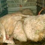 Rotundo rechazo al documento de bases sobre el lobo: Los ganaderos piden su retirada y mantendrán las movilizaciones 1