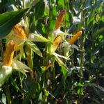 Nergetic Dynamic asegura la demanda de NPK del maíz, protegiendo los nutrientes y evitando pérdidas por lixiviación 1