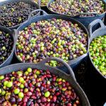 Reclaman que el aceite importado también se incorpore a la Norma de Calidad del Aceite de Oliva 1