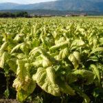 El sector del tabaco extremeño se reunirá con Planas para reclamarle que se posicione y defienda al cultivo ante la nueva PAC 1