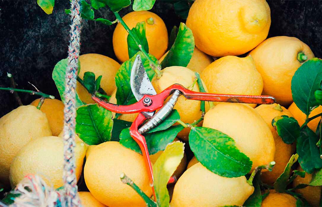 Entre los efectos de la pandemia y el 'precio periódico' el sector del limón fino se hunde con pérdidas millonarias