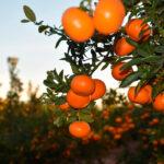 Primeras acciones legales contra personas y entidades que presuntamente llevan una explotación irregular de mandarinas Spring Sunshine 1