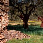 Proponen a los propietarios de alcornocales un servicio para conocer la calidad del corcho que comercializan antes de su extracción 1