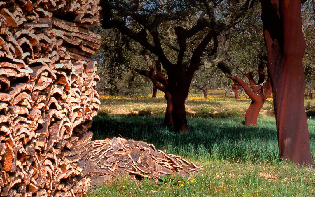 Proponen a los propietarios de alcornocales un servicio para conocer la calidad del corcho que comercializan antes de su extracción