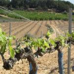 Se presentará un Recurso de Alzada contra la Resolución que congela las nuevas plantaciones de viña para cava en los años 2020-22 1