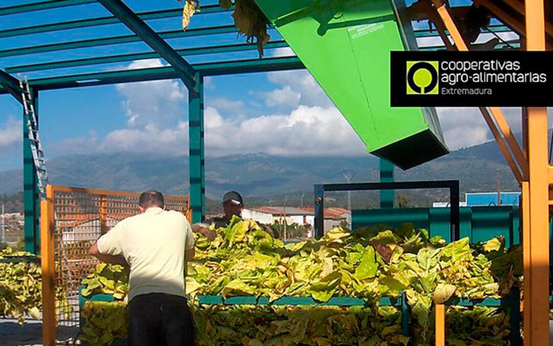 Planas abre la mano para que el cultivo de tabaco en Extremadura continúe como región productora en el Plan Estratégico de la PAC