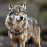 Frente común de ganaderos y diez CCAA para impulsar una iniciativa conjunta para pedir la retirada de la inminente orden del lobo 1