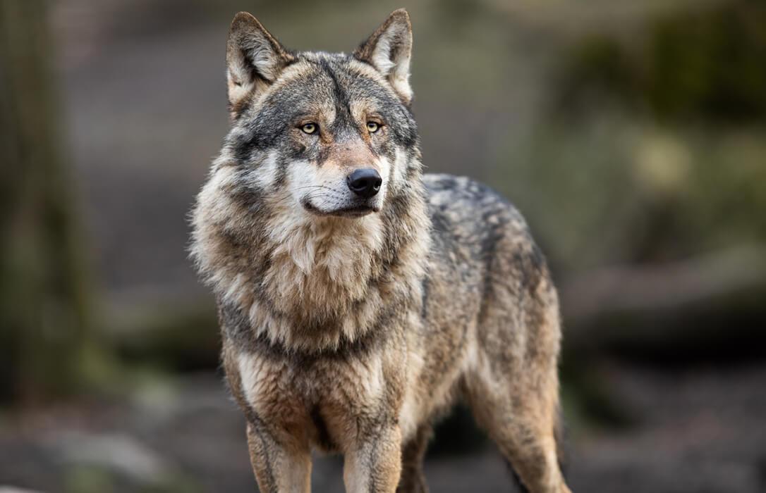 Frente común de ganaderos y diez CCAA para impulsar una iniciativa conjunta para pedir la retirada de la inminente orden del lobo