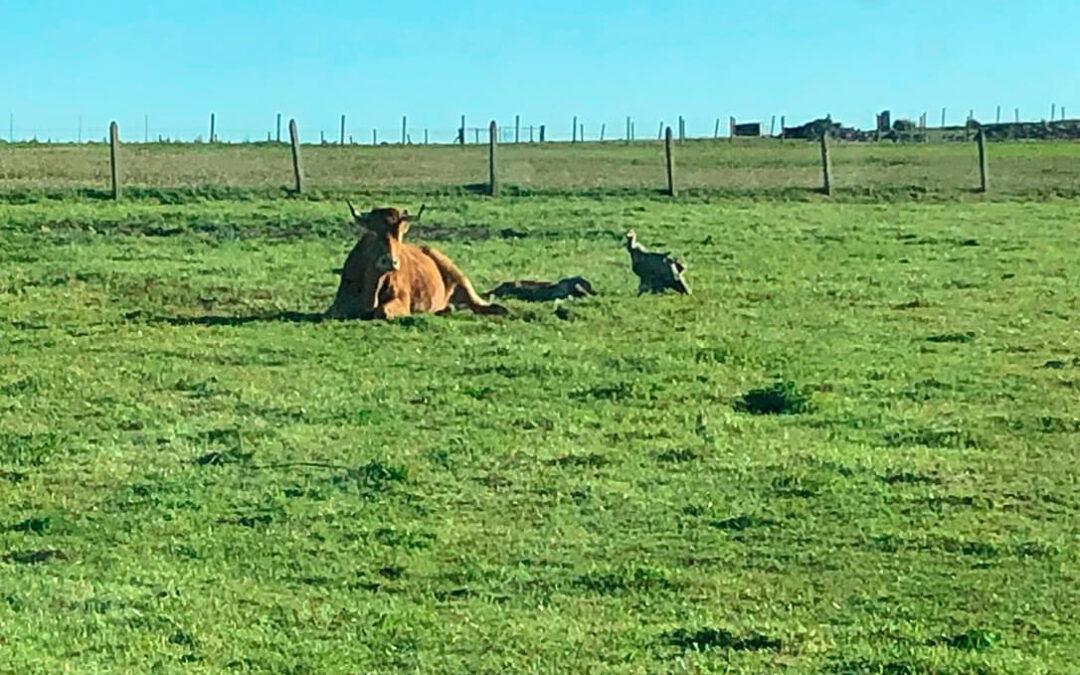 El ataque de una bandada de unos 40 buitres a una vaca cuando paría calienta los ánimos ante la protesta ganadera en defensa del sector