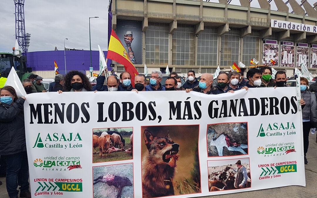Una caravana de 300 vehículos como protesta contra la protección del lobo: «Ellos no están en peligro de extinción, los ganaderos, sí»