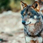 Las quejas no parecen importar demasiado: El Senado rechaza una moción para paralizar la protección del lobo ibérico 1