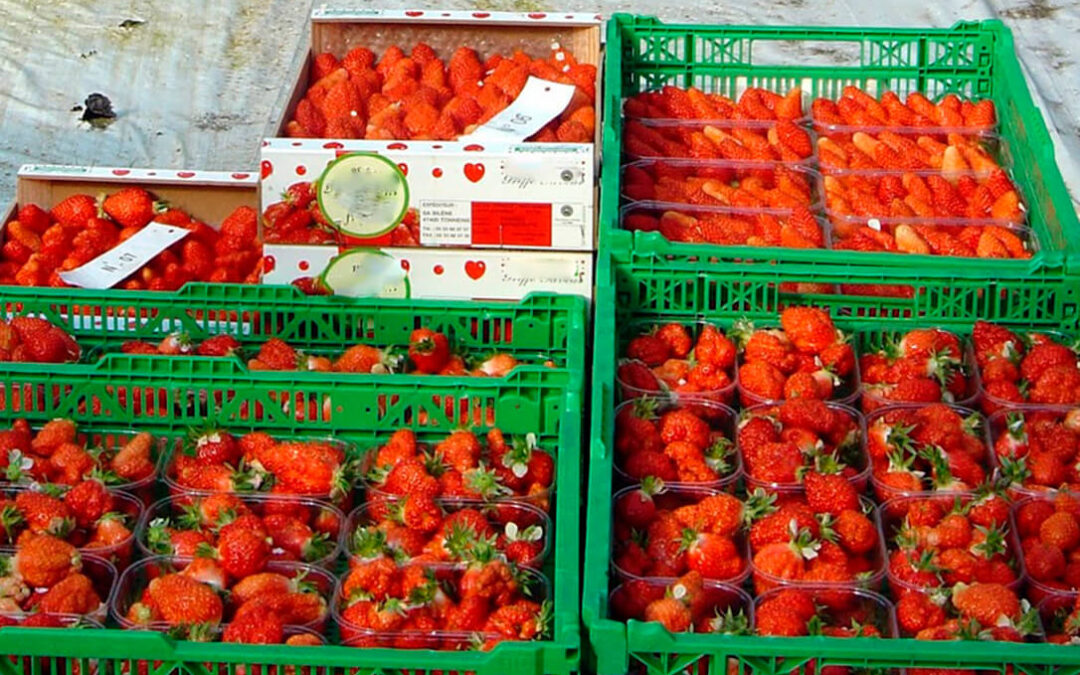 La guerra de precios hunde al sector de la fresa, que denuncia que «el mercado está saturado, pero de especuladores»