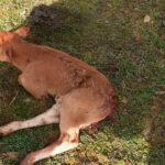 Salamanca gourmet para la fauna salvaje: Un nuevo ataque de los zorros deja otra becerra herida en Tierra de Alba 1